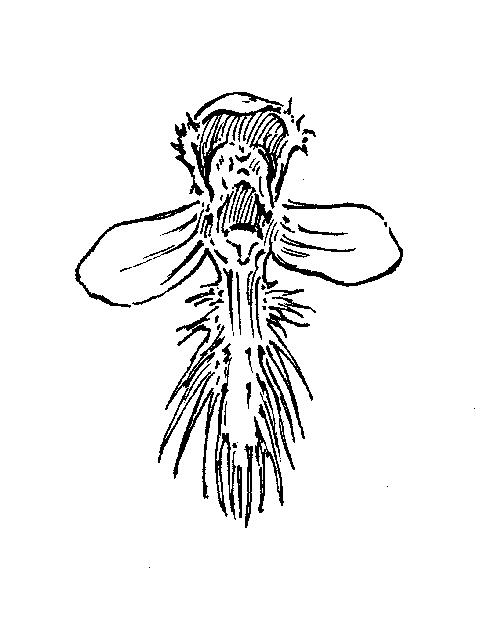 Platanthera: Dichotomous Key: Go Botany
