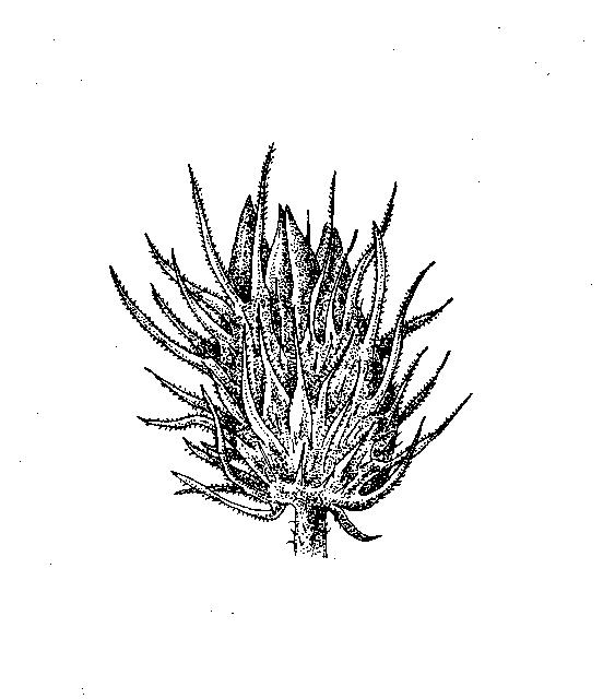 Poaceae: Dichotomous Key: Go Botany