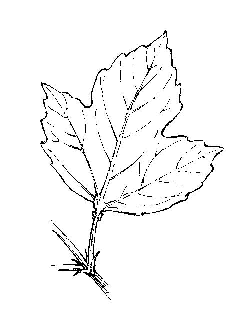 Viburnum: Dichotomous Key: Go Botany