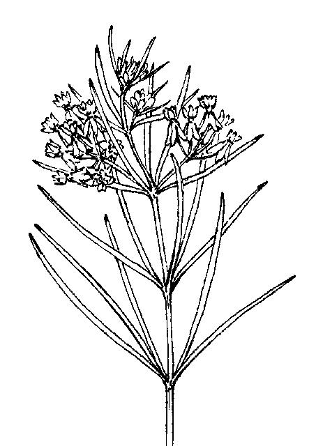 Asclepias: Dichotomous Key: Go Botany