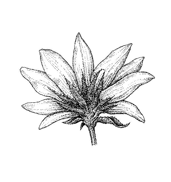 Asteraceae Group 6: Dichotomous Key: Go Botany