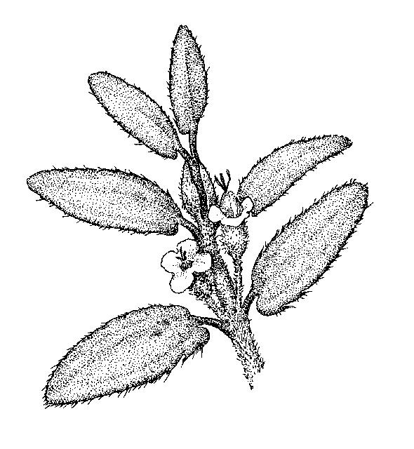 Euphorbia: Dichotomous Key: Go Botany