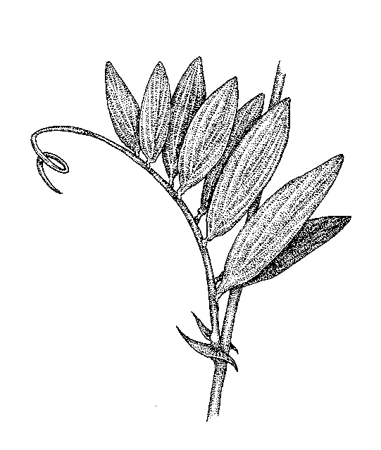 Lathyrus: Dichotomous Key: Go Botany