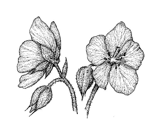 Geranium: Dichotomous Key: Go Botany