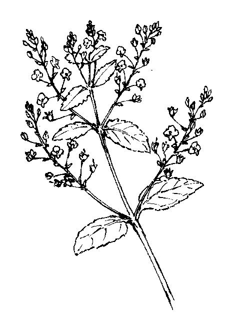 Veronica: Dichotomous Key: Go Botany