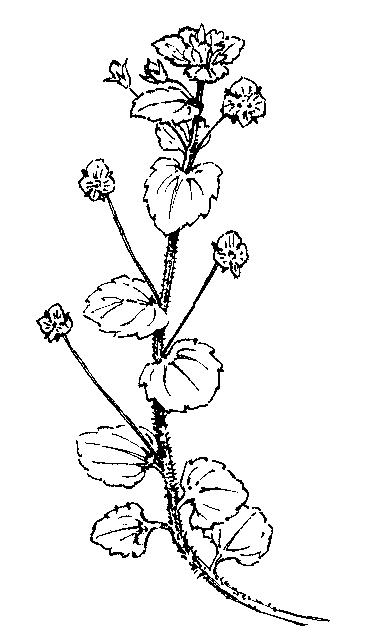 Plantaginaceae: Dichotomous Key: Go Botany