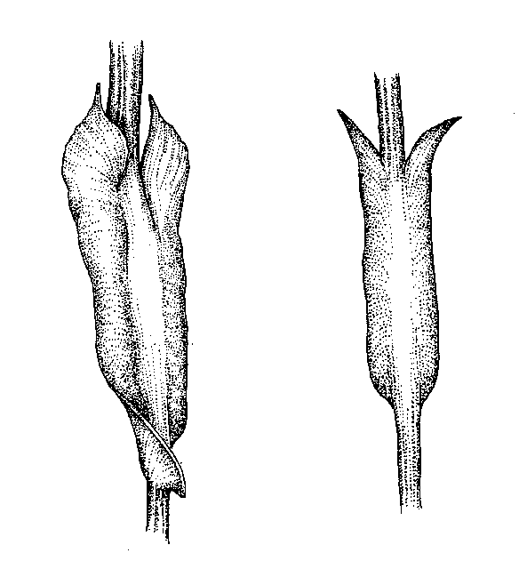 Rosaceae: Dichotomous Key: Go Botany
