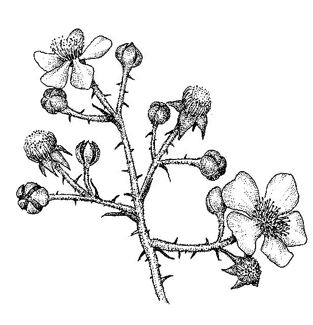Rubus: Dichotomous Key: Go Botany
