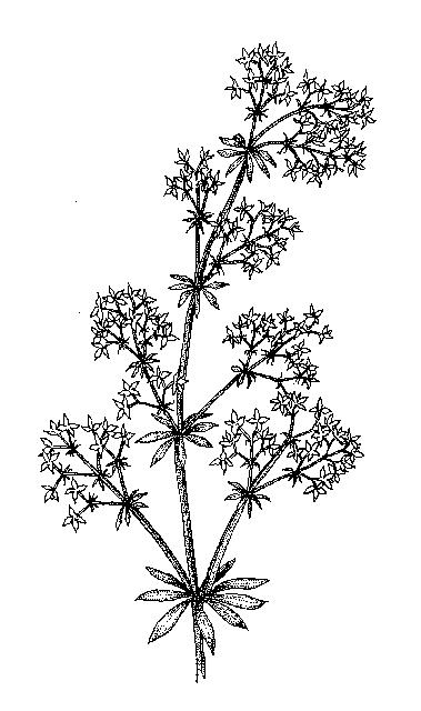 Rubiaceae: Dichotomous Key: Go Botany