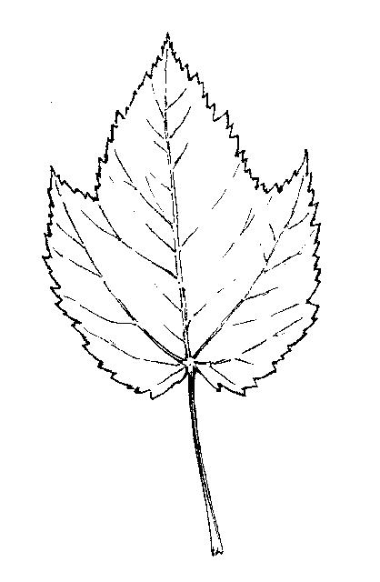 Acer: Dichotomous Key: Go Botany