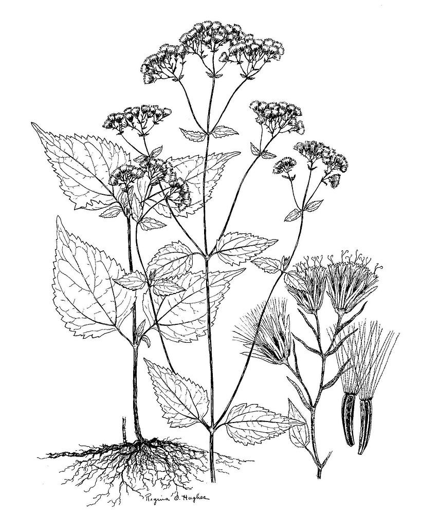 Ageratina altissima (white snakeroot): Go Botany