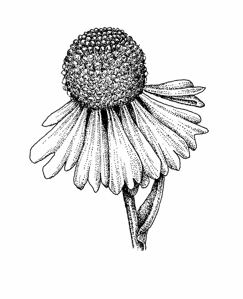 Helenium autumnale (fall sneezeweed): Go Botany