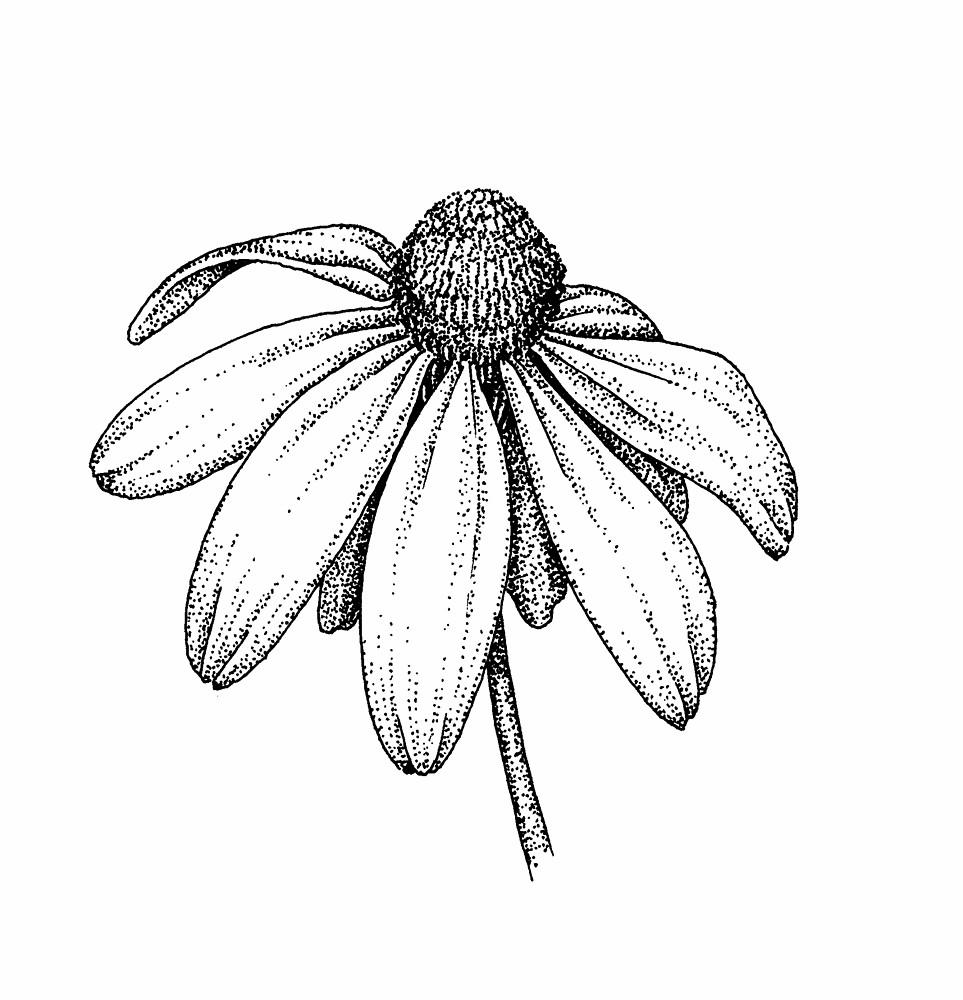 Rudbeckia laciniata (green-headed coneflower): Go Botany