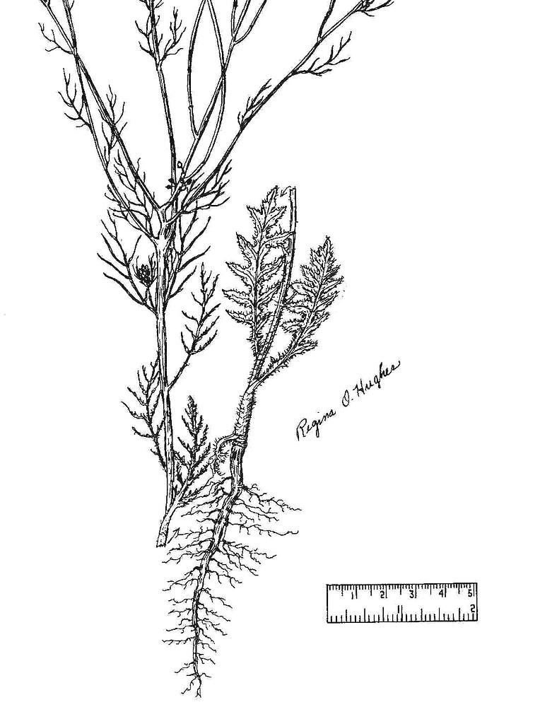 Sisymbrium altissimum (tumbling hedge-mustard): Go Botany