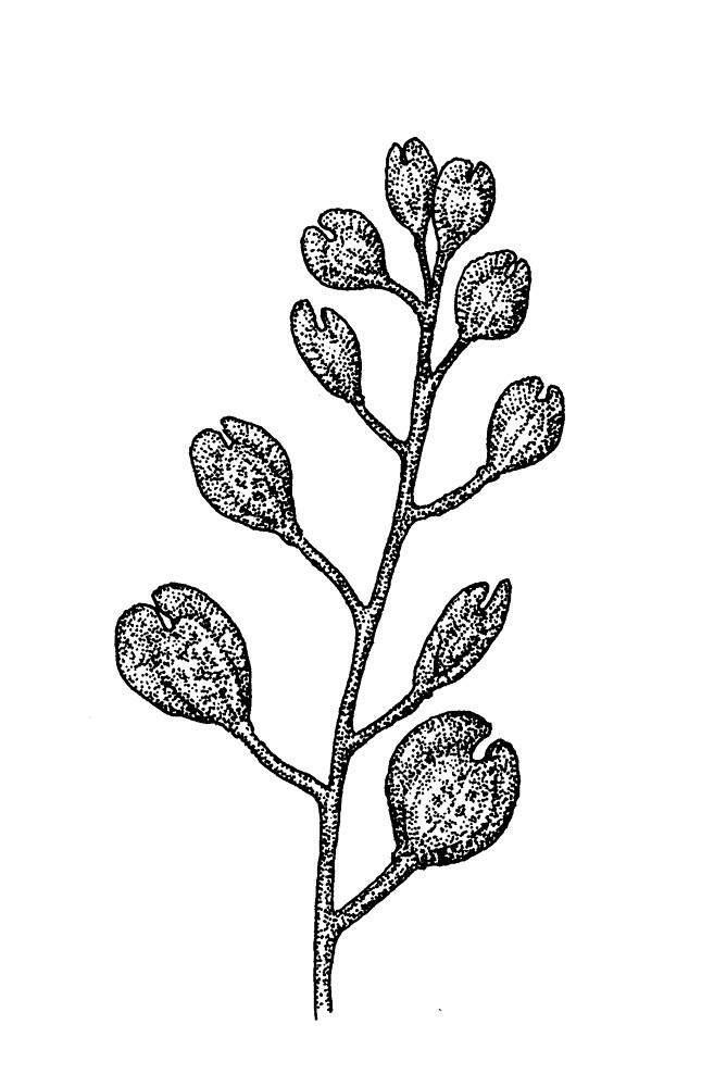 Thlaspi arvense (field penny-cress): Go Botany