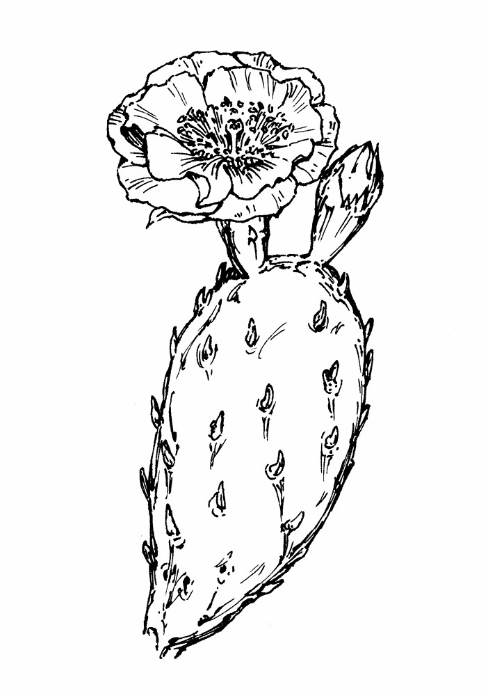 Opuntia humifusa (eastern prickly-pear): Go Botany