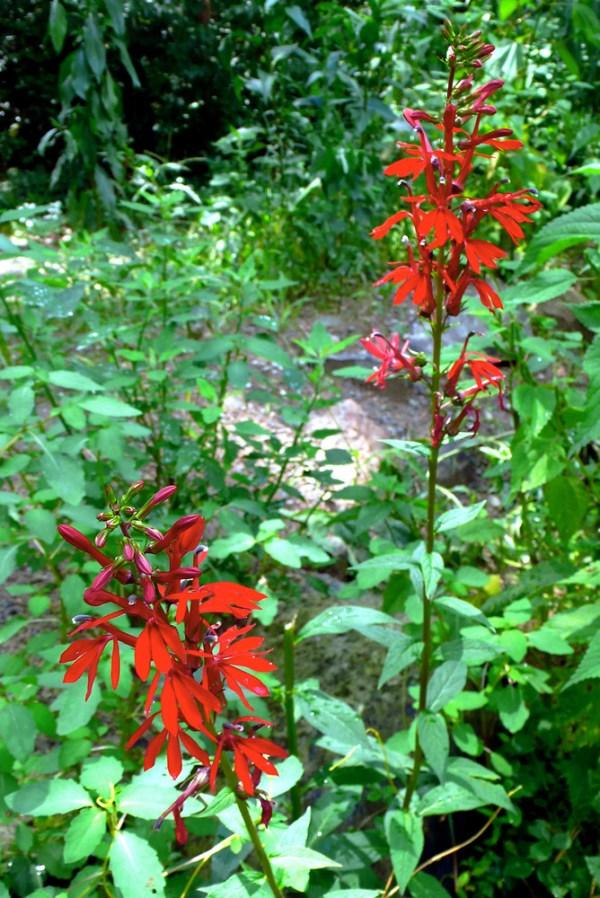Lobelia cardinalis cardinalflower red lobelia Go Botany