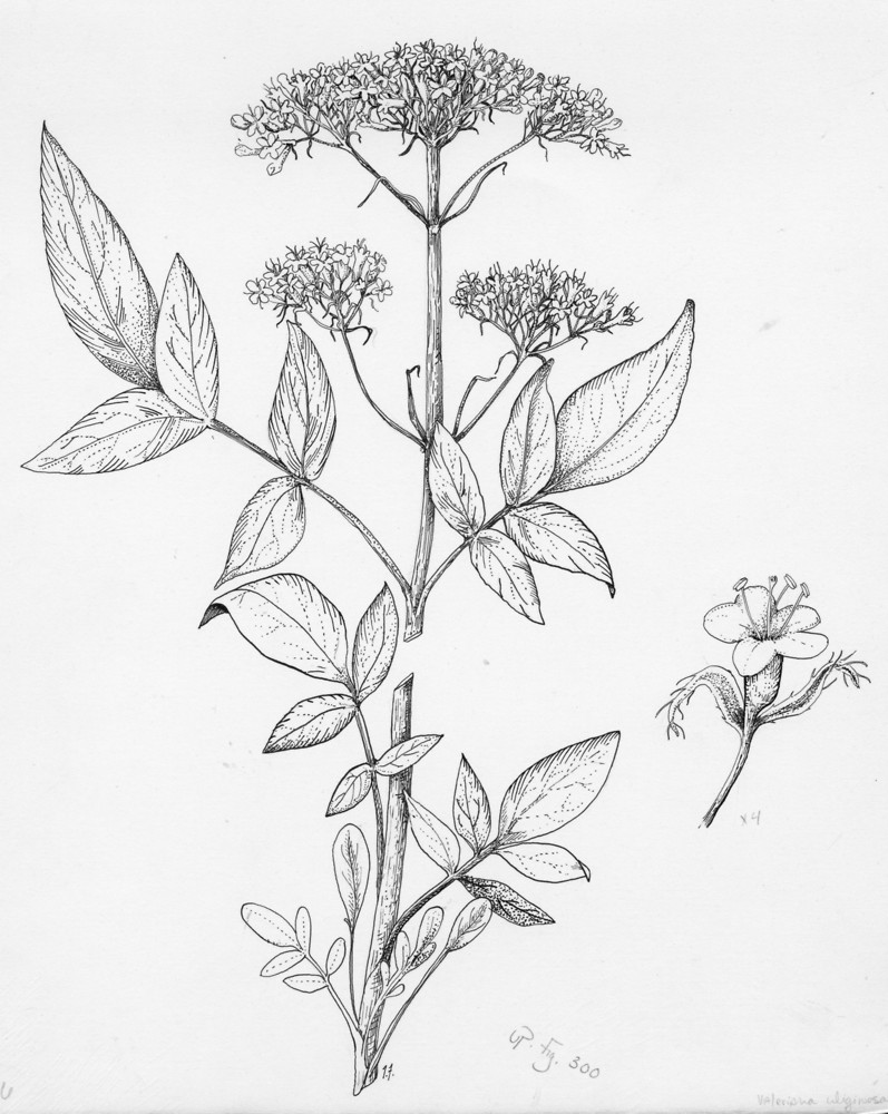 Valeriana uliginosa (marsh valerian): Go Botany