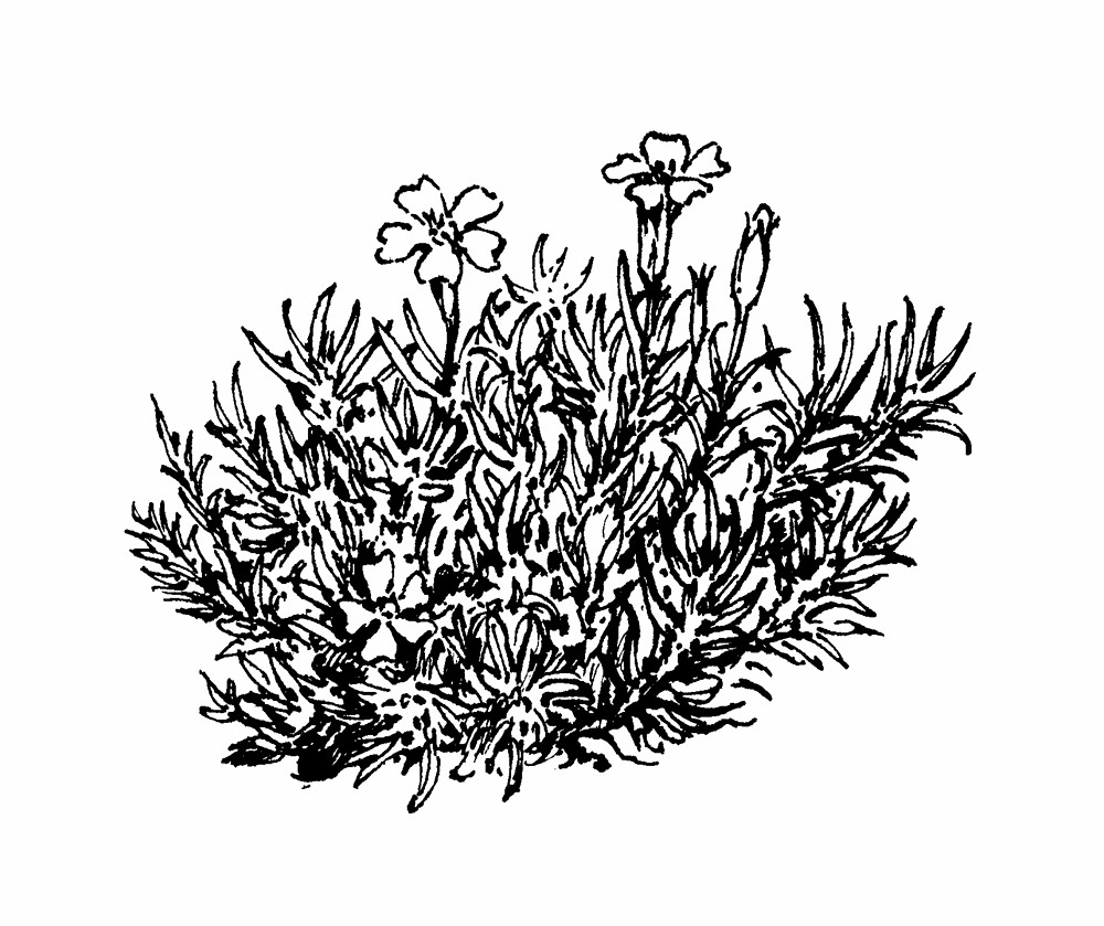 Silene acaulis (moss campion): Go Botany