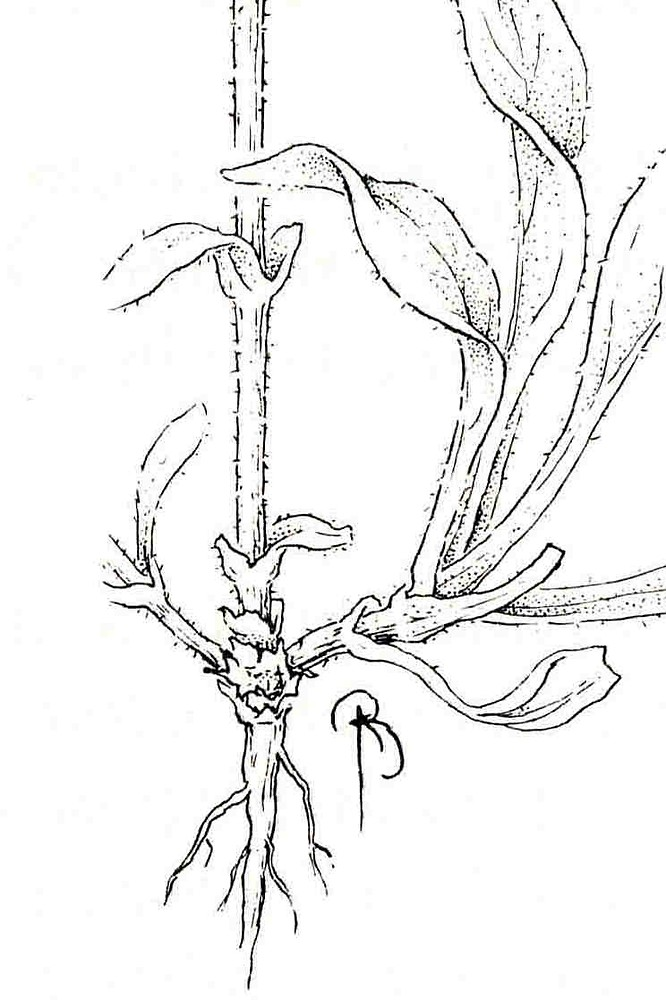 Coloring pages Campion