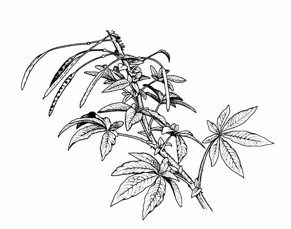 Tarenaya hassleriana (giant spider-flower): Go Botany