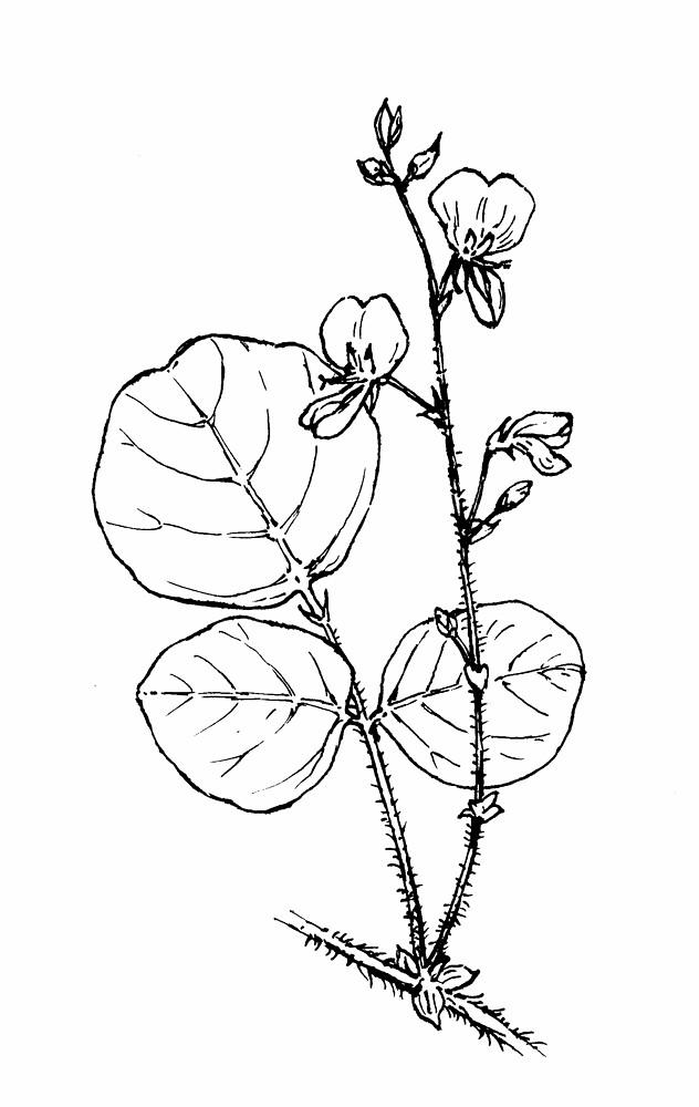 Desmodium rotundifolium (round-leaved trailing tick