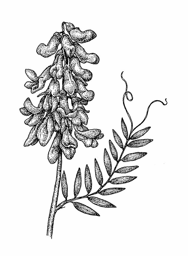 Vicia cracca (bird vetch, cow vetch): Go Botany