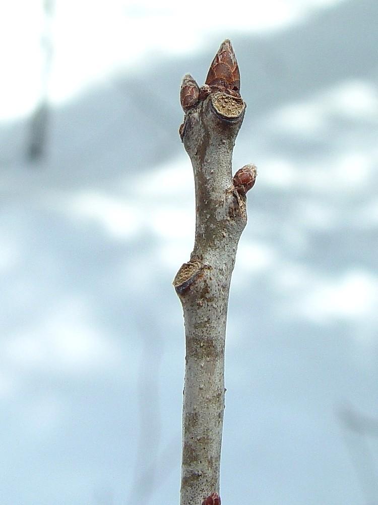 Woody Plants Simple Key Go Botany
