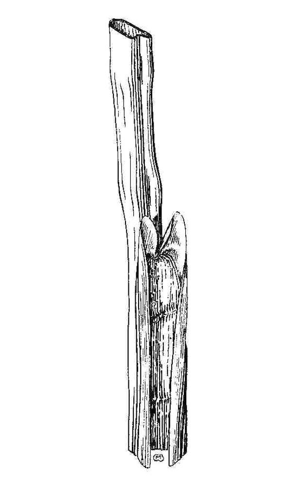 Juncus acuminatus (sharp-fruited rush): Go Botany