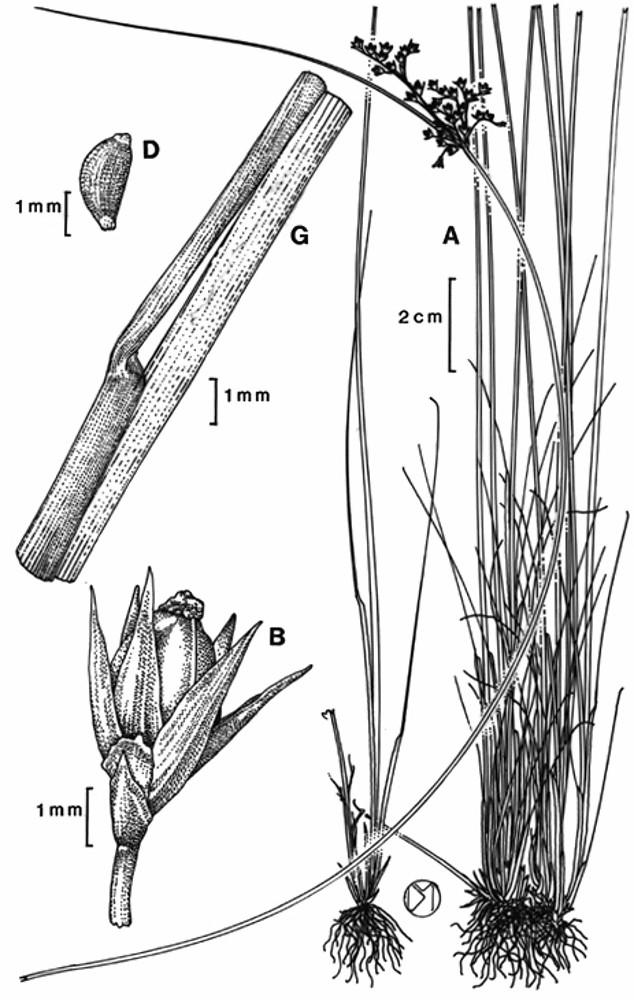 Juncus dichotomus (forked rush): Go Botany