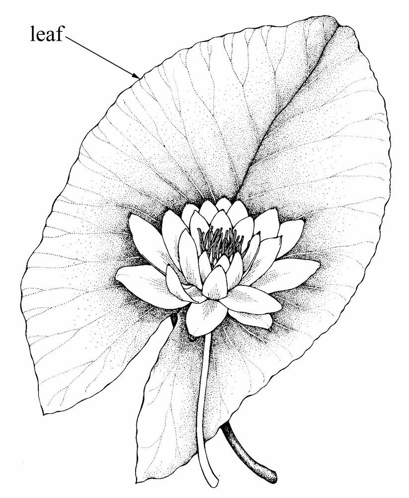 Nymphaea tuberosa (tuberous water-lily): Go Botany