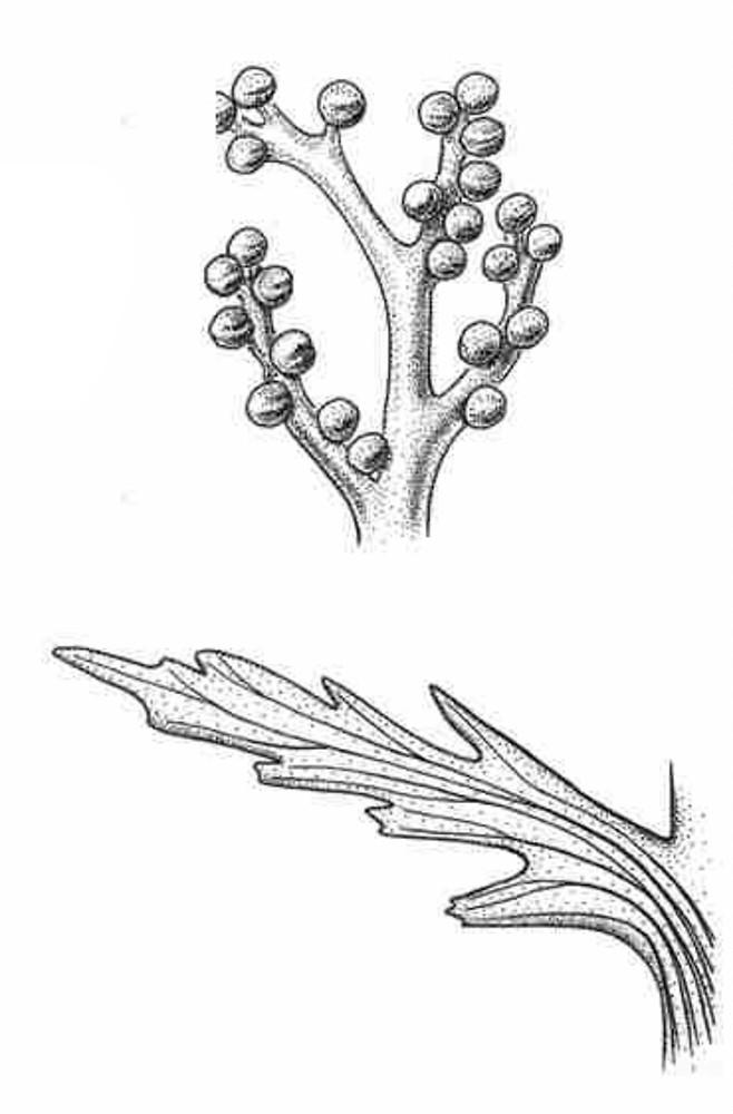 Botrychium angustisegmentum (narrow triangle moonwort): Go