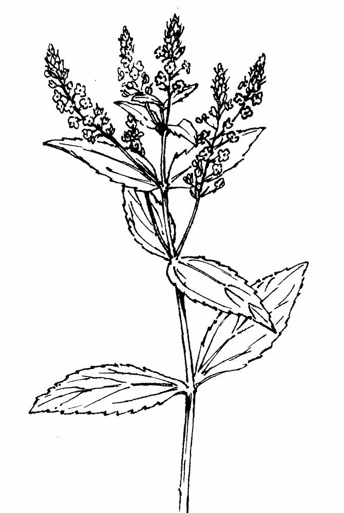 Veronica anagallis-aquatica (blue water speedwell): Go Botany
