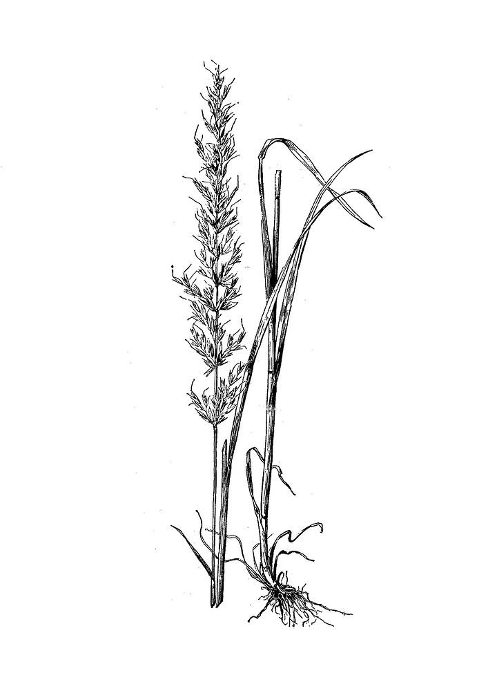 Arrhenatherum elatius (tall oat grass): Go Botany