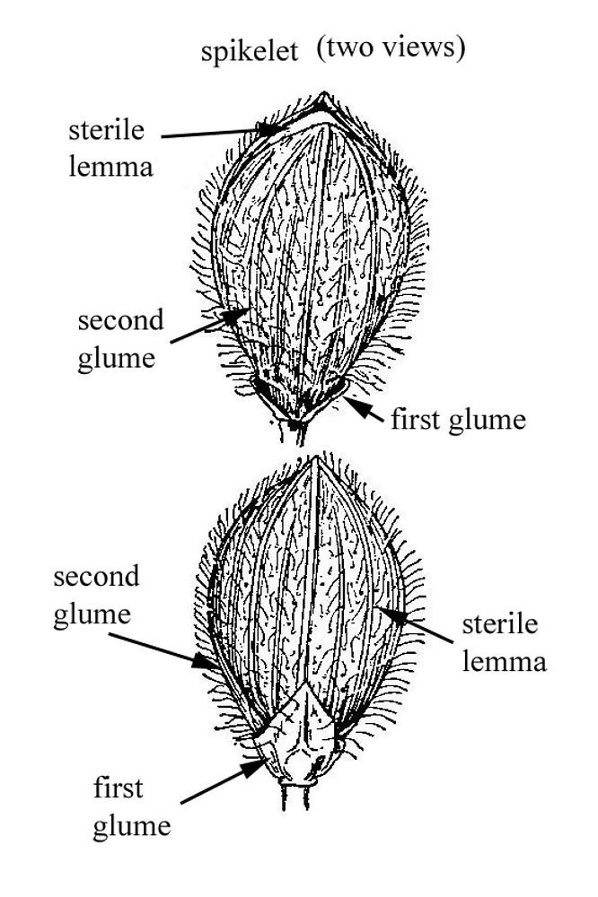 Dichanthelium scoparium (velvety rosette-panicgrass): Go