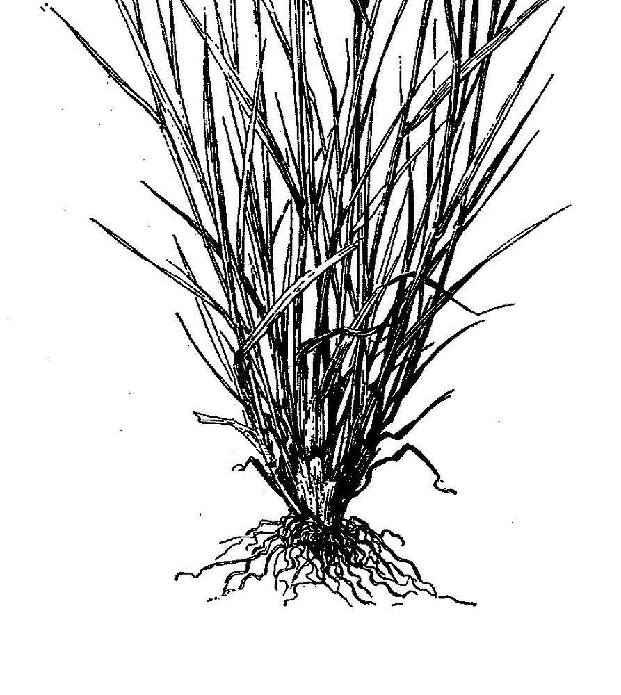 Hordeum brachyantherum (meadow barley): Go Botany
