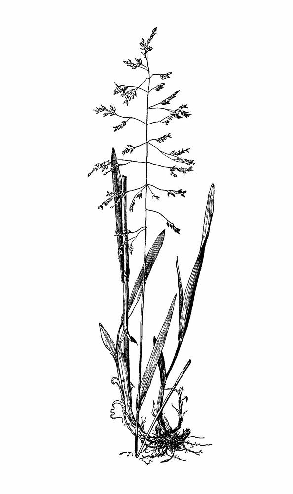 Milium effusum (millet grass): Go Botany