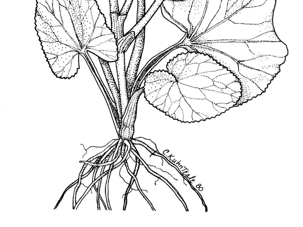 Caltha palustris (marsh-marigold): Go Botany