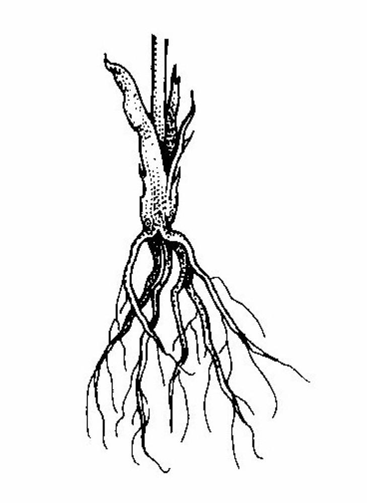Ranunculus rhomboideus (prairie crowfoot): Go Botany