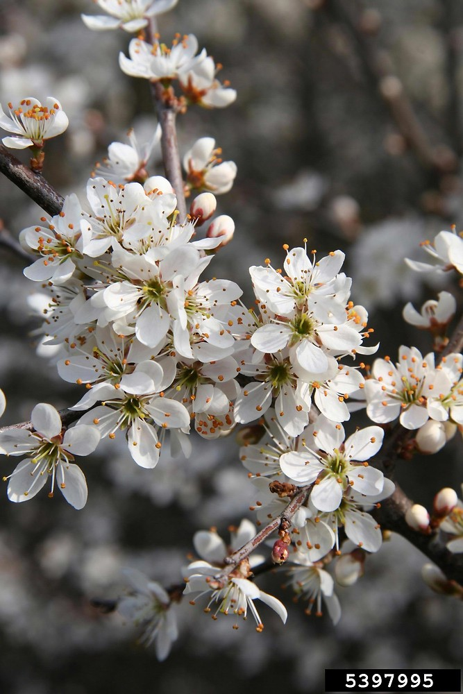 Prunus spinosa blackthorn plum Go Botany