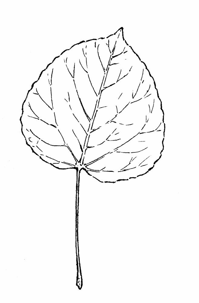 Populus tremuloides (quaking aspen, quaking poplar): Go Botany