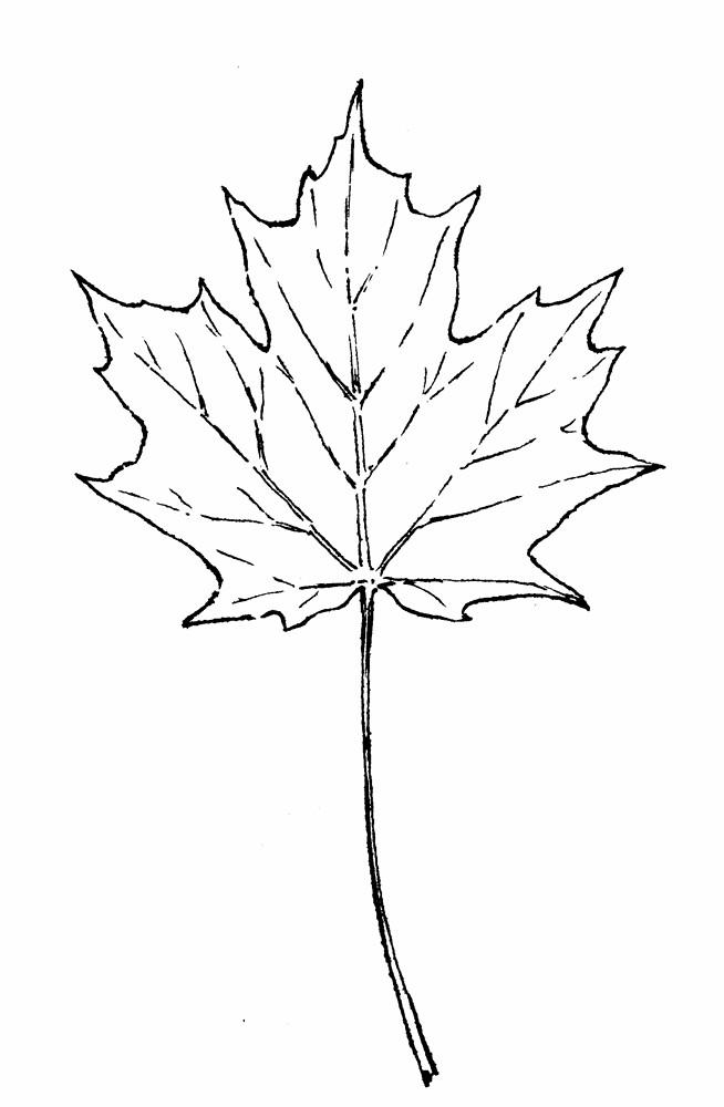 Acer saccharum (sugar maple): Go Botany
