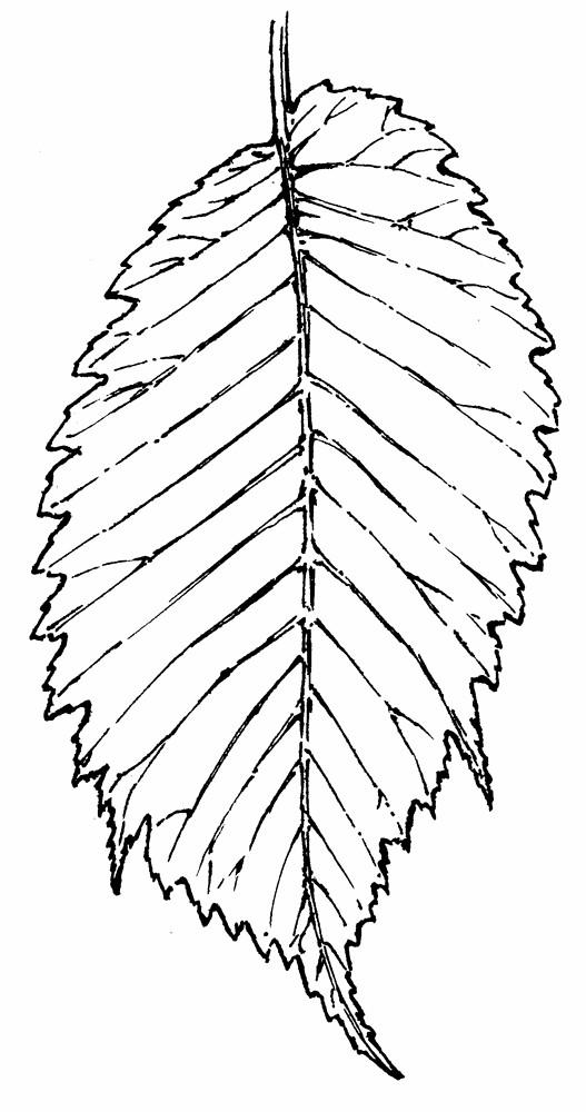 Ulmus glabra (Scotch elm): Go Botany