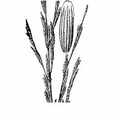 Glyceria septentrionalis (floating manna grass): Go Botany