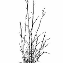 Triplasis purpurea (purple sandgrass): Go Botany