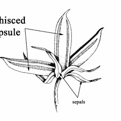 Viola pedata (bird-foot violet): Go Botany