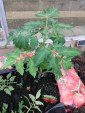 Tomato Plants are starting to show signs of flowers