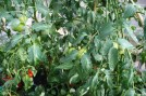Tomatoes a plenty but slow to ripen