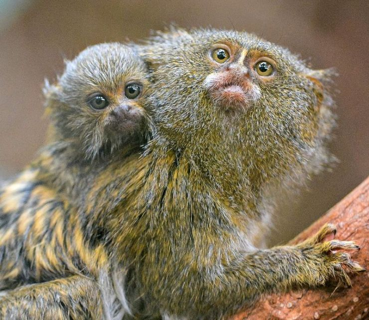 Where to Find it Smallest Monkey