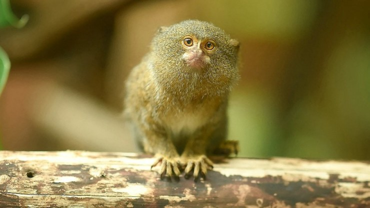 Things You Didn't Know About the Smallest Monkey and Where to Find it